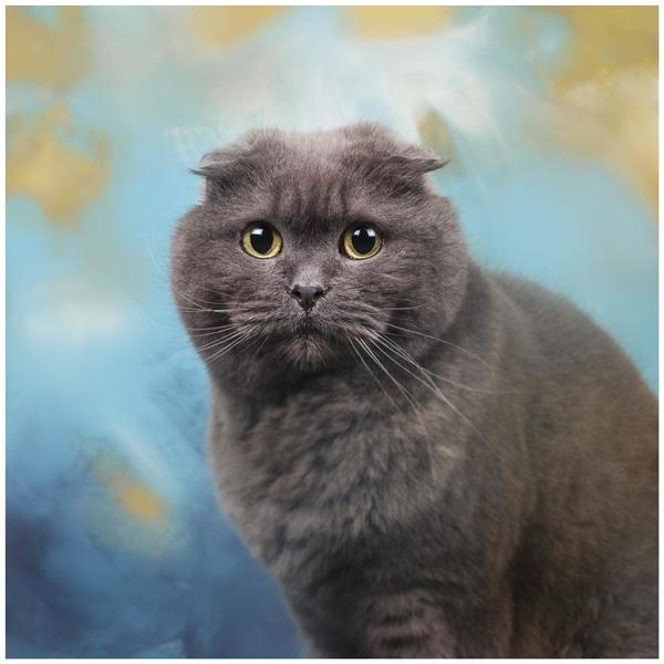Chú mèo Scottish Fold cũng đẹp không kém những người bạn khác!