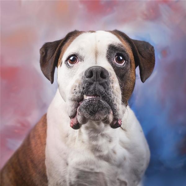 Chú chó Boxer ngầu hết cỡ trong bức chân dung nghệ thuật