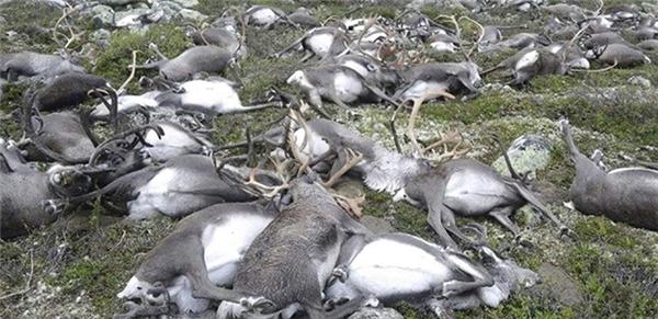 Hơn 300 con tuần lộc chết vì bị sét đánh trong cơn bão cuối tuần vừa qua ở Na Uy.