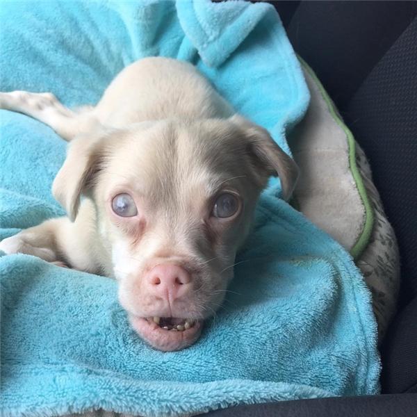 Tucker là một chú chó 3 tuổi, lai giữa ba giống Chihuahua, Miniature Pinscher và Poodle.