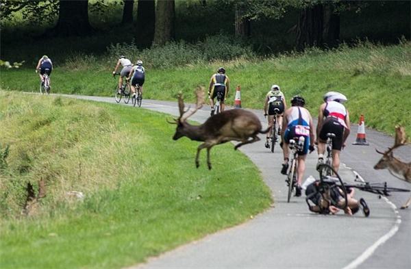Liên tiếp những chú hươu băng qua đường đua. Tuy nhiên anhShane thiếu may mắn hơn khi bị một chú hươu lao thẳngvào người.