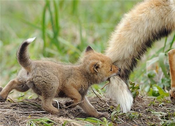 Cáo con thoải máinghịch ngợm với chiếc đuôi của mẹ và vô tư lự với tháng ngày phía trước.