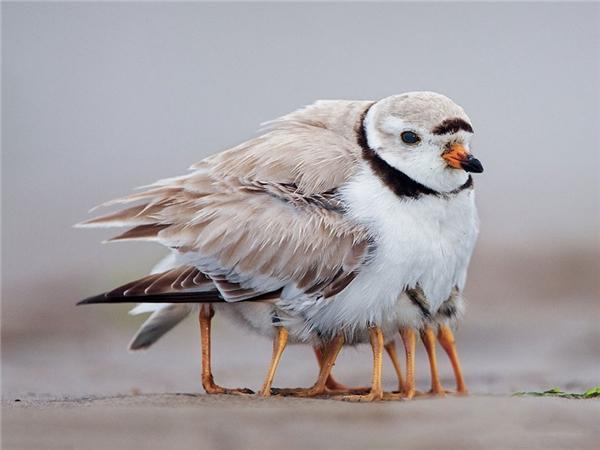 Để giữ ấm và bảo vệ đàn con, cái lạnh cái rét nào chim mẹ cũng vượt qua được.