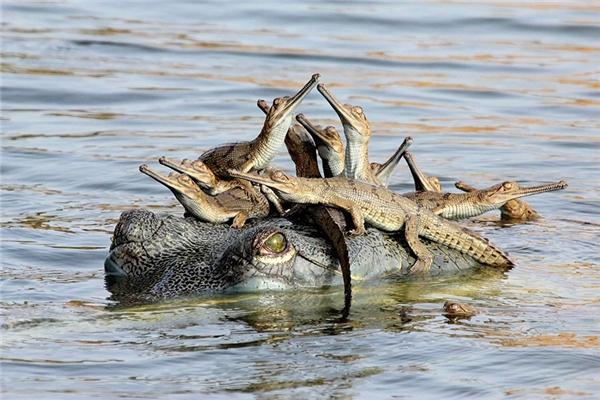 Cá sấu là động vật nguy hiểm nhưng không có nghĩa chúng không có tình thương, đặc biệt là tình mẫu tử.