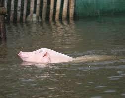 Vì cứu con lợnrơi xuống sông Mã, ông Tú bị dòng nước cuốn mất tích.Ảnh minh họa