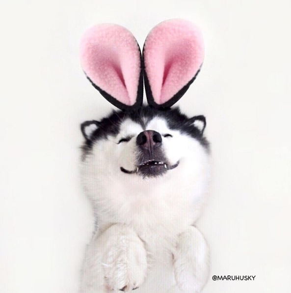 """""""Đừng gọi husky Maru nữa mà từ nay hãy gọi tớ là thỏ hồngMaru nhé""""."""