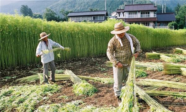 Đất nông nghiệp của Nhật Bản không nhiều. (Ảnh: internet)