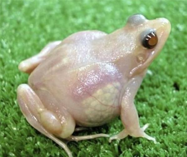 Hoang mang với loài ếch bị đột biến trong suốt hoàn toàn cơ thể