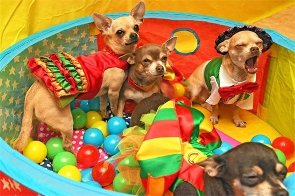 Helen Turner đã tổ chức một bữa tiệc sinh nhật với phong cách Mexico cho hai chúcún Chihuahua của mình. (Ảnh: Mirror)