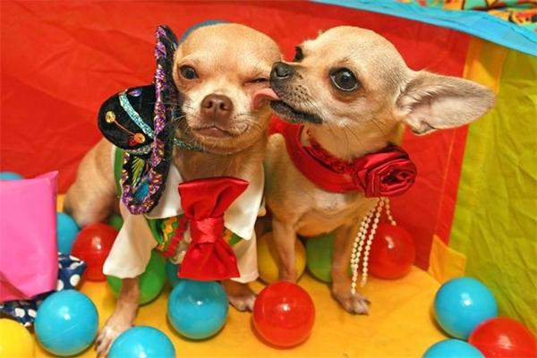 """Tuy nhiên, bữa tiệc sinh nhật này chẳng thấm vào đâuso với số tiền 24.000 bảng Anh (khoảng 715 triệu đồng) mà cô chủ Helen tiêu tốn mỗi năm để chăm sóc cho """"đội quân"""" 8 chú cún của mình.   Salvador và Purdy – chủ nhân của bữa tiệc xa xỉ.(Ảnh: Mirror)"""