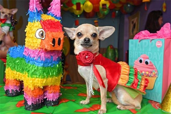 """Được biết, chị Helen là chủ của một salon chăm sóc cho cún cưng có tên Any Paw Salon and Boutique ở Barnoldswick. Theo chia sẻ của chị thì Salvador và Purdy là hai chú cún nhỏ nhất trong số năm chú Chihuahua chị đang nuôi, vì thế chị muốn tổ chức sinh nhật cho hai chú đặc biệt hơn một chút. """"Tôi chọn phong cách Mexico vì nơi ấy được coi là quê hương của giống chó Chihuahua, kiểu như tôi muốn đưa 'các con' về lại nguồn cội vậy"""". Trước đó, chị Helen đã dành hàng tháng trời để chuẩn bị mọi thứ, từ các trò chơi trong bữa tiệc, đặt mua trang phục, thức ăn cho cún, bánh sinh nhật và tất cả mọi vật dụng trang trí cần thiết.   Salvador và Purdy còn """"mời"""" những người bạn cún đến chung vui với mình.(Ảnh: Mirror)"""