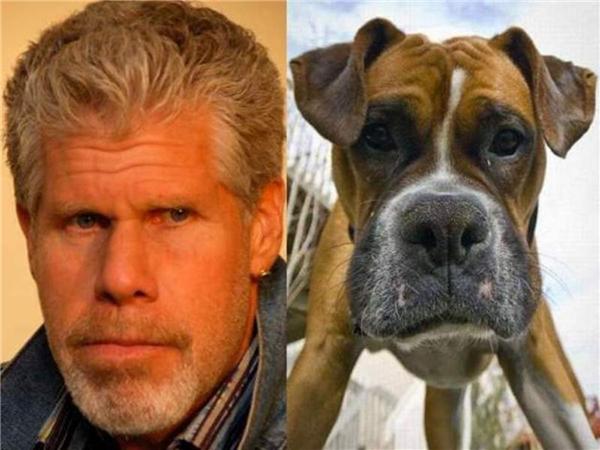 Từ ánh mắt đến hình dáng khuôn mặt, chú chó này vànam diễn viên Ron Perlman cứ như một khuôn đúc ra vậy.