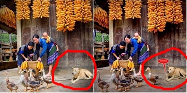 Con vịt và con chó được thêm vào bức ảnh gốc. Chuyên gia về ảnh đã vạch rõphần long từ thao táccắt ghép xung quanh viền.