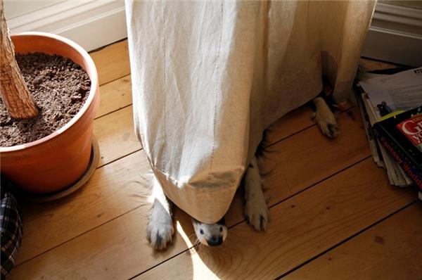 Đố mọi người con chó trốn dưới tấm rèm nó đang ở đâu đấy.