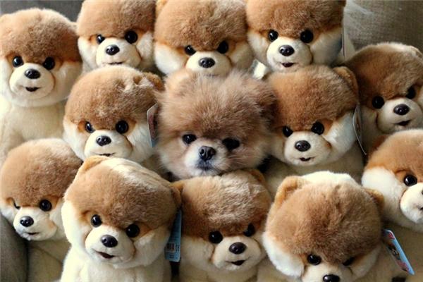 Chắc chắn không có con chó thật nào trốn giữa đám chó bông này đâu.