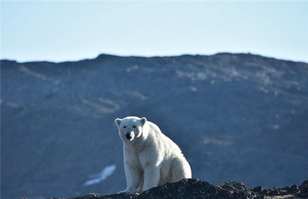 Ông giải thích, vì băng tuyết trên núi ngày càng ít, loài gấu Bắc cực phải tìm địa điểm mới để tồn tại, trong quá trình di chuyển này không ít con bị chết do sự xuất hiện của các triệu chứng của hạ thân nhiệt.