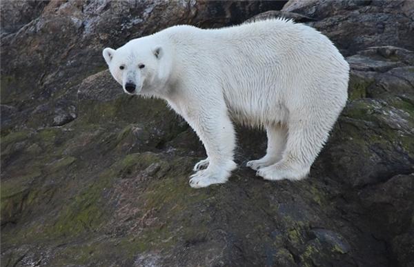 Liên Hợp Quốc từng cảnh báo số lượng của gấu Bắc cực đang bị suy giảm mạnh vì môi trường biến đổi. Về vấn đề này, chuyên gia Nicholas kêu gọi loài người thiết phải có hành động mạnh mẽ nhằm chống lại hiệu ứng nhà kính.