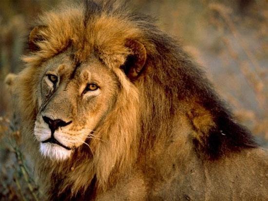 Sư tử cứu người là câu chuyện hiếm có. (Ảnh: Internet)