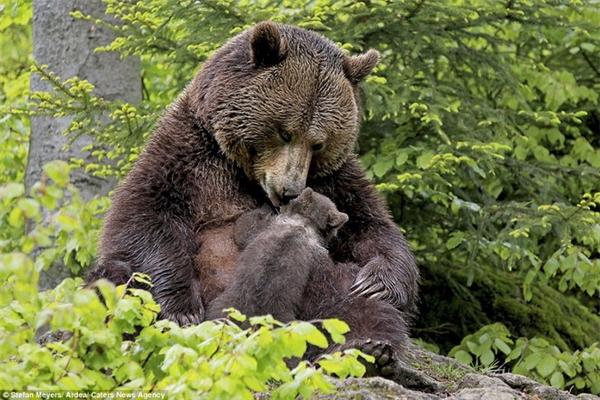 Gấu mẹ đã cứu sống ông Biggs thật kì diệu. (Ảnh: Internet)