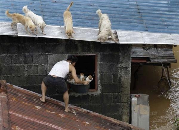 Người đàn ông cố gắng cứu bầy chó trong trận lụt dữ dội ở Philippines.