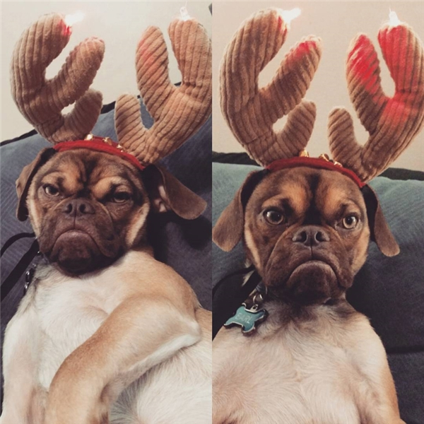 Earl là chú chó thuộc giống puggle, tức lai giữa giống pug và giống beagle.