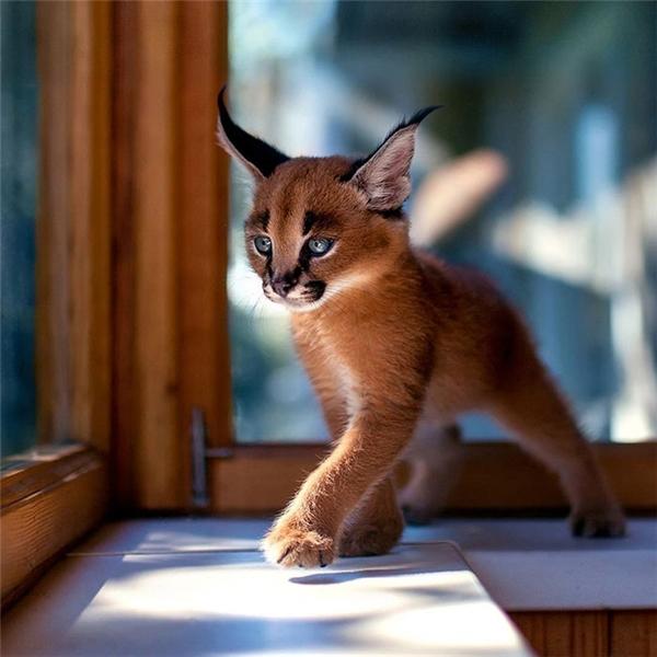 Giống mèo này là sự pha trộn giữa loài báo và linh miêu, với thân thể thon thả và hai cặp chân dài.