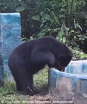 Sau khi được các bác sĩ điều trị chú gấu này đã dần phục hồi.