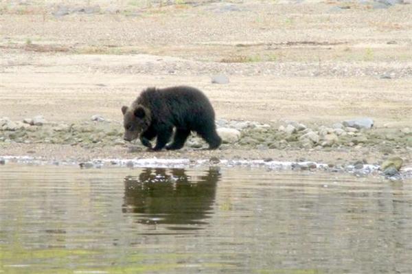 Gấu mẹ quay lưng đi, bỏ mặc con mình giữa tự nhiên để chúng bắt đầu tự sinh tồn. (Ảnh: Mirror)