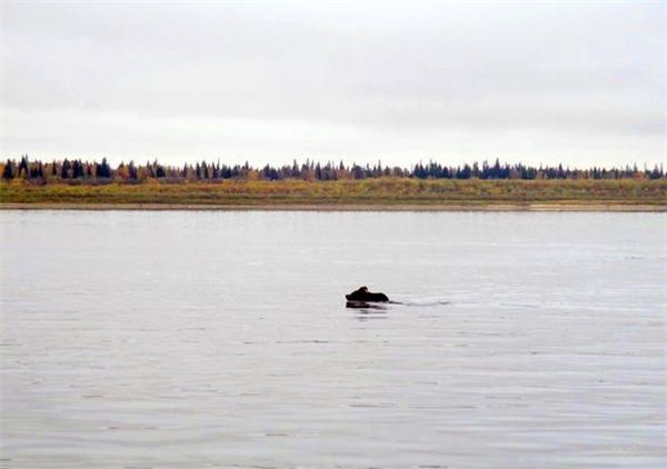 Gấu mẹ bơi sang sông, bỏ đàn con lại bên bờ sông. (Ảnh: Mirror)
