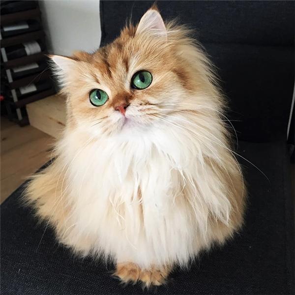 Thuộc giống mèo lông dài Anh Quốc, tiểu thư mèoSmoothie sở hữu nhan sắc vạn người mê. Cô nàng nổi tiếng vớisở trườngtạo dáng, pose ảnh cực kute vàhấp dẫnngười đối diện bằng ánh mắt có hồn.
