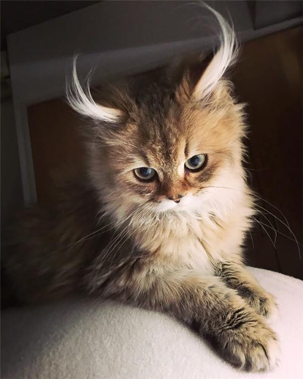 """Còn chú mèo đáng yêu này có tên là Antelope sừng vểnh. Tuy còn nhỏ nhưng đã biết cách tạo dáng sao cho mình thật ăn ảnh, lại còn theo kịp trào lưu """"cái nhìn xa xăm"""" nữa."""