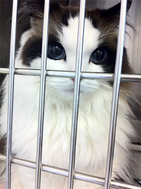 Dù bị những song sắt che mất một phần gương mặt nhưng chúng ta khó có thể phủ nhận rằng Mi Mi là một cô mèo cuốn hút và đầy tự tin. Nhìn vào đôi mắt to tròn xanh đen sáng ngời ngời ấy, thử hỏi ai không bị hớp hồn chứ?