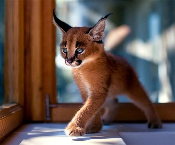 """Đây là một chú linh miêu tai đen, hay còn được gọi là caracal, thuộc họ mèo. Đúng với tên gọi """"mèo người mẫu"""", chú mèo con lông vàng này sải từng bước chân như một model đích thực, khí chất tỏa ra ngời ngời."""