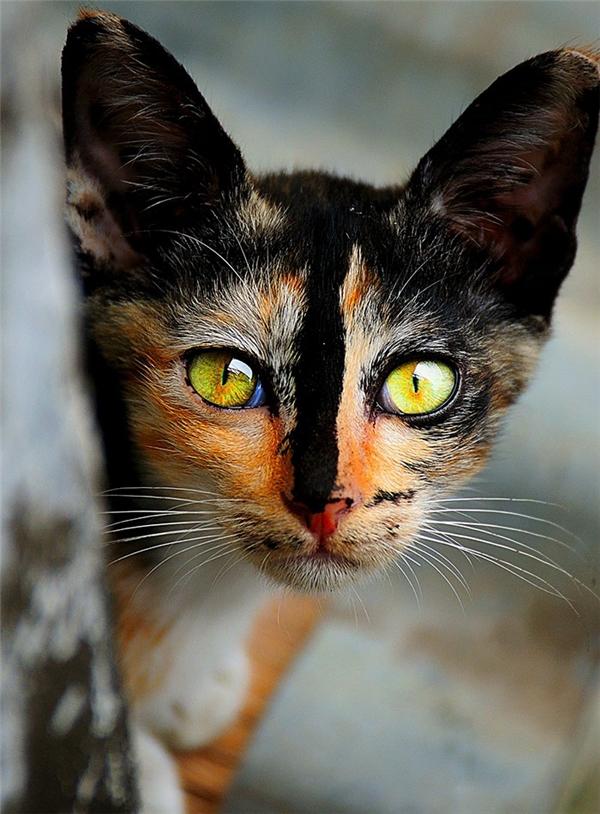 """Lại thêm một """"chuyên gia thôi miên"""" góp mặt vào danh sách mèo đẹp nhất thế giới.Đôi mắt màu hổ phách của chú mèo nàydễ dàng hớp hồn người nào trót nhìn vào."""