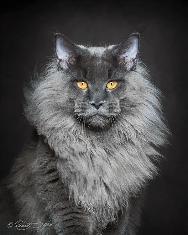Tự hỏi rằng đây liệu là một chú mèo hay là hậu duệ của giống loài chúa tể sơn lâm? Bờm lông dài bay phất phơ cùng đôi mắt sắc sảo lạnh lùng, chú Maine Coon này xứng đáng là một biểu tượng của vương quyền.