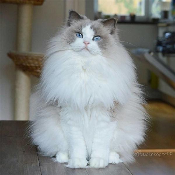 Chỉ một lần chạm mắt thôi, vẻ đẹp kiêu sa, kiều diễm của nàngcông chúa mèo Aurora khiến bao trái tim phải thổn thức, đêm ngày nhớ nhung. Trên Instagram của nàng công chúa Thụy Điển này đã có đến 87 ngàn người theo dõi.