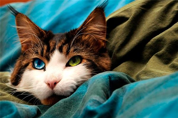 Mèo chú mèo Cheyenne thuộc giốngMaine Coon hay còn được gọi với cái tên mèo lông dài Mỹ là một trong những giống mèo lớn nhất thế giới.Cheyenne khiến người xem đặc biệt ấn tượng với đôi mắt đa sắc của mình.