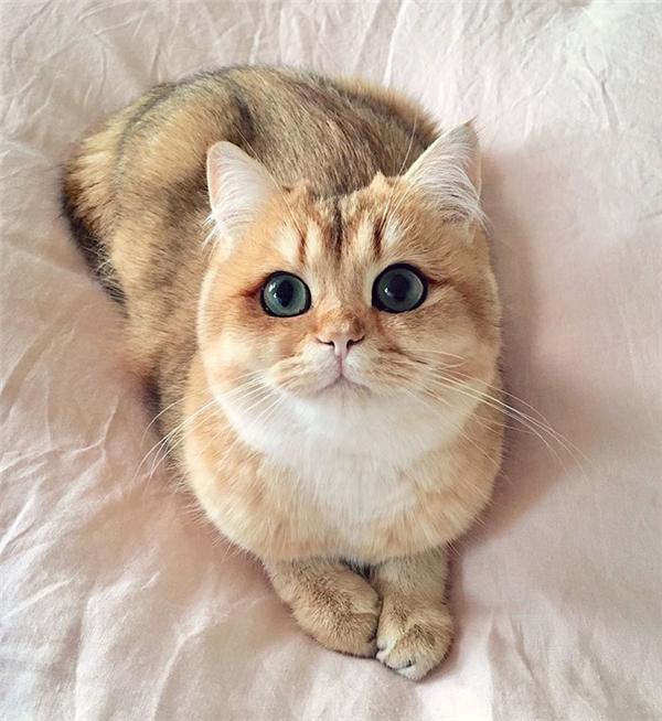 Cũng có đôi mắt sáng như các anh chị nhưng bé mèo Pumpkin này lại được tự nhiên tô điểm thêm một đường hightlight quanh mắt độc đáo. Thuộc giống mèo lông ngắn vàng của Anh,Pumpkin sở hữu vẻ ngoàidễ thương, đáng yêu như một đứa trẻ.