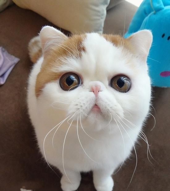 Nhìn cômèo này trông quen quá đúng không? Chắc chắn rồi, nàngSnoopy mặt ngố tàunổi tiếng khắp thế giới đây mà. Snoopy thuộc giống mèoExotic Shorthair với đặc điểm lông ngắn mềm mại và gương mặt tẹtngây ngây ngố ngố đặc trưng.