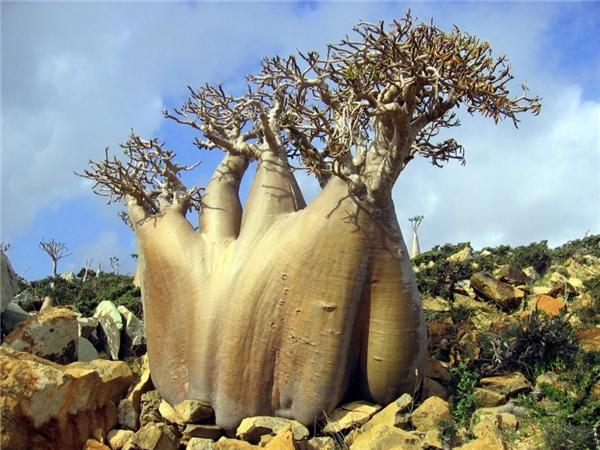 Socotra thuộcYemen, Ấn Độ Dươngđược mệnh danh là quần đảo hoang vu nhất thế giới với địa hình hiểm trở chẳng khác nào nơi ở của... UFO. Bên cạnh đó, khí hậu khô nóng khắc nghiệt đã khiến hệ thực vật kìlạ phát triển mạnh ở hòn đảo này.