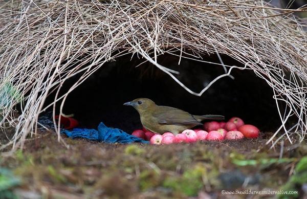 """Dù """"ngôi nhà"""" rực rỡ sắc màu, ấm cúng và tiện nghi như vậy, chim mái loài này lại từ chối dùng làm chỗ nuôi con."""