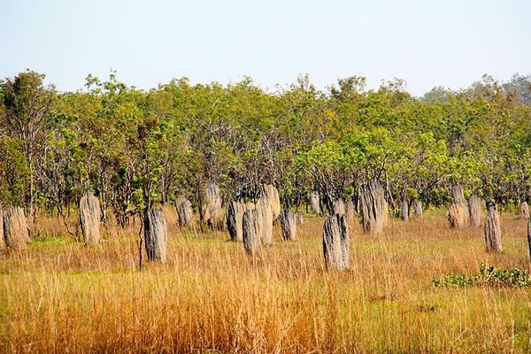 Những tổ mối này nhìn từ xa giống các tấm bia mộ nhưng khi tới gần, bạn khó có thể tưởng tượng kích thước của nó lại cao đến 3m.