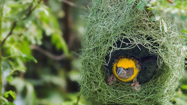 Chim sẻ Thợ DệtBaya- Loài chim này được tìm thấy chủ yếu ở Ấn Độ và Đông Nam Á. Chúngthường xây tổ trên những cành cây gai nhọn hoặc treo lơ lửng trên mặt nước để tránh bị thú săn mồi tấn công.