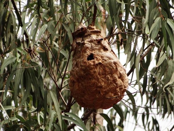 Ong Vò Vẽ - Loài vật nàythường làm tổ ở nơi lộ thiên, trên cành cây, bụi rậmhoặc ngay trên mái nhà. Chúnglấy bột gỗ kết hợp với nước bọt tạo thành những viên giấy nhỏ đem về nơi chọn làm nhà rồi trải mỏng ra, cứ thếđắp dần thành tổ.