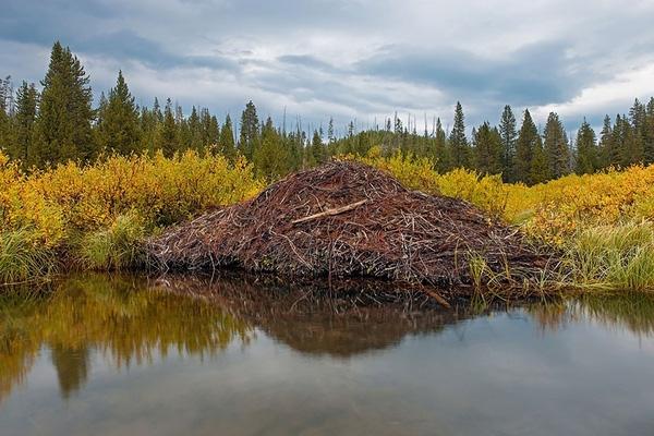 """Hải Lyxây tổchìm dưới nước nhằm tránh kẻ thù, thường chọn """"đặt móng"""" ở khu vực hai bênbờ sông hay nhữngkhu rừng sâu."""