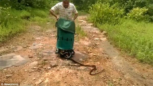 """Đoạn clip được quay tại rừng Panchmadhi thuộc khu vực Hoshangabad, Ấn Độ. Trong đó, một người bắt rắn đã thả 285 con rắn vào rừng sau khi kiểm tra kĩ càng rằng xung quanh đó không có người để tránh bị rắn tấn công hoặc những con rắn bị bắt trở lại.   Một """"nùi"""" rắn được trả lại vào tự nhiên ở rừng Panchmadhi thuộc khu vực Hoshangabad, Ấn Độ. (Ảnh: Newslions)"""