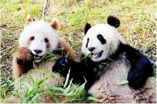 """Sau khi chuyển qua """"nhà mới"""" tạitrung tâm bảo vệ gấu trúc Thung lũng Phật Bình,cuộc sống của Qizaithoải mái và vui vẻ hơn trước, """"cu cậu"""" thậm chí còn có một người bạn."""