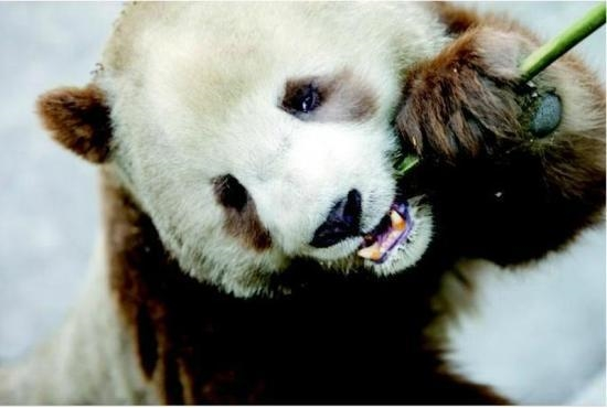 Với bộ lông đặc biệt và tính cách hiền lành,Qizai trở thành ngôi sao của thế giới động vật và được các du khách rất yêu thích.