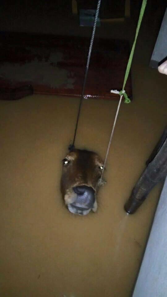 Một gia đình đã phải dùng dây thừng kéo chú bò lên cao để tránh bị ngạt nước. Ảnh: facebook