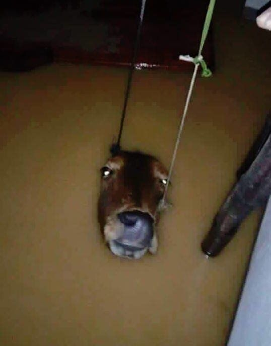 Ánh mắt đầy ám ảnh của chú bò đang sắp bị nước nuốt trọn vào dòng lũ. (Ảnh: Internet)